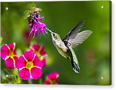 Hummingbird With Flower Acrylic Print