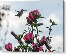 Hummingbird With Rose Of Sharon Acrylic Print