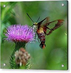 Hummingbirdbird Moth Dining Acrylic Print
