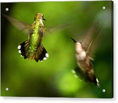Hummingbirds - Fighting Acrylic Print by Fred Baird