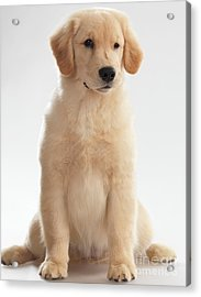Humorous Photo Of Golden Retriever Puppy Acrylic Print by Oleksiy Maksymenko