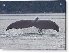 Humpback Dive Acrylic Print by Stan and Anne Foster