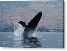Humpback Whale Breach Acrylic Print