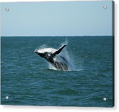 Humpback Whale Breaching Acrylic Print by Peter K Leung