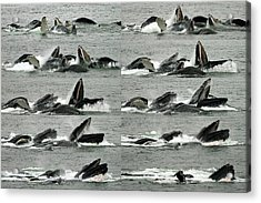 Humpback Whale Bubble-net Feeding Sequence X10 Acrylic Print
