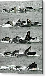 Humpback Whale Bubble-net Feeding Sequence X5 V1 Acrylic Print
