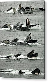 Humpback Whale Bubble-net Feeding Sequence X5 V2 Acrylic Print