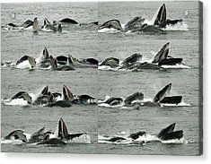 Humpback Whale Bubble-net Feeding Sequence X8 Acrylic Print