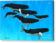 Humpback Whale Family Acrylic Print by Corey Ford