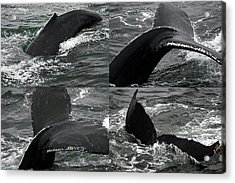 Humpback Whale Fluke Montage Acrylic Print