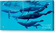 Humpback Whale Group Acrylic Print by Corey Ford