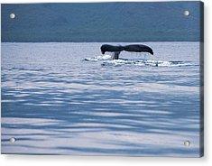 Humpback Whale Tail Acrylic Print by Jennifer Ancker