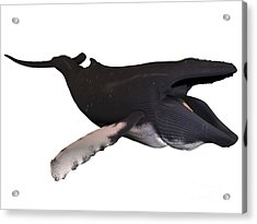 Humpback Whale With Baleen Acrylic Print by Corey Ford