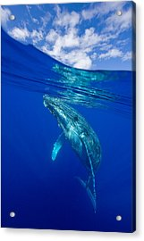 Humpback Whale With Clouds Acrylic Print