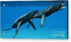 Humpback Whales Surfacing Acrylic Print by Corey Ford