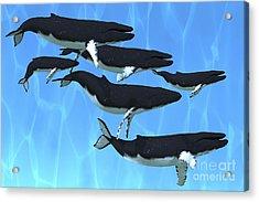 Humpback Whales Swim Together Acrylic Print