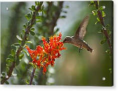 Hums With Its Mouth Full Acrylic Print