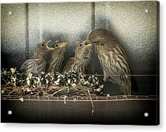 Hungry Chicks Acrylic Print by Alan Toepfer