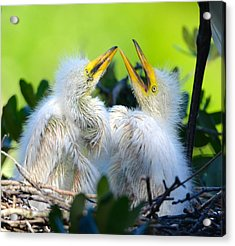 Hungry Egret Chicks Acrylic Print
