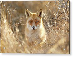 Hungry Eyes - Red Fox In The Bushes Acrylic Print by Roeselien Raimond