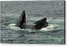 Hungry Humpback Acrylic Print by Rick Frost