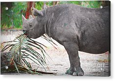 Hungry Hungry Rhino Acrylic Print by Judy Kay