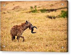 Hungry Hyena Acrylic Print by Adam Romanowicz