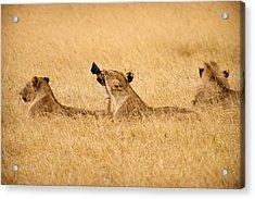 Hungry Lions Acrylic Print by Adam Romanowicz