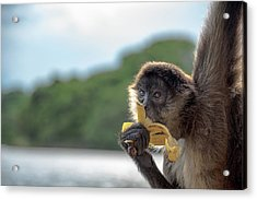 Hungry Monkey Acrylic Print by Michael Santos