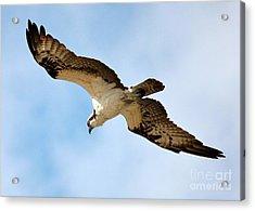 Hunter Osprey Acrylic Print by Carol Groenen