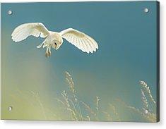 Hunting Barn Owl Acrylic Print