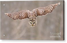 Hunting Barred Owl  Acrylic Print