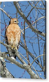 Acrylic Print featuring the photograph Hunting by Bill Wakeley