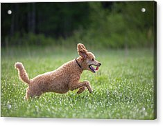 Hunting Dog Acrylic Print