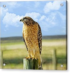Hunting Hawk Acrylic Print by Susan Leggett