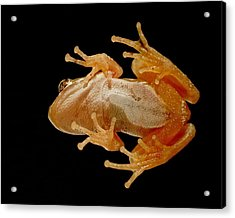 Hunting On Glass - Tree Frog Acrylic Print