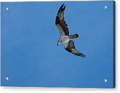 Hunting Osprey Acrylic Print