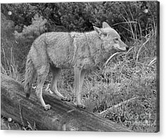 Hunting With Ears Back Black And White Acrylic Print by Adam Jewell
