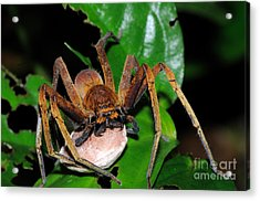 Huntsman Spider With Egg Sac Acrylic Print by Fletcher & Baylis