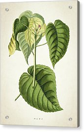 Hura Botanical Print Acrylic Print