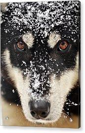 Husky And Snow Close-up Acrylic Print