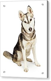 Husky Crossbreed Dog With Attentive Expression Acrylic Print by Susan Schmitz
