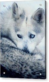 Husky Curled Up Acrylic Print