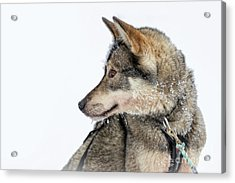 Acrylic Print featuring the photograph Husky Dog by Delphimages Photo Creations