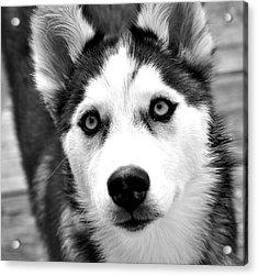 Husky Pup Acrylic Print