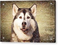 Husky Acrylic Print by Nichola Denny