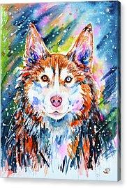 Acrylic Print featuring the painting Husky by Zaira Dzhaubaeva