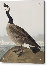 Hutchins's Barnacle Goose Acrylic Print by John James Audubon