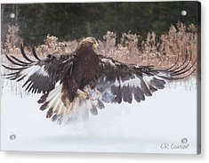 Hunting In The Snow Acrylic Print
