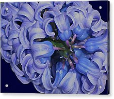 Hyacinth Curls Acrylic Print